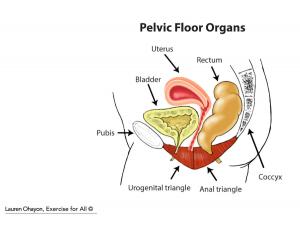 pelvic floor organs